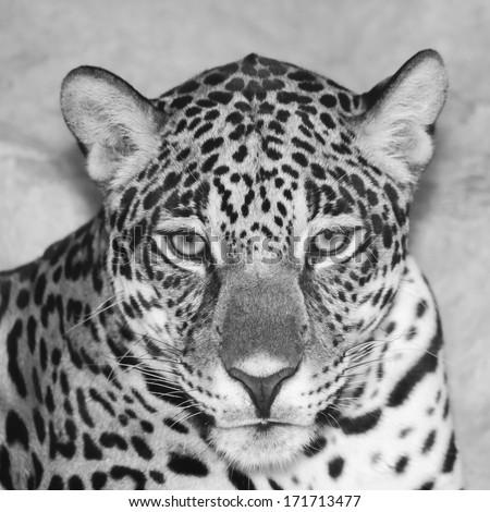 Jaguar head black and white. - stock photo