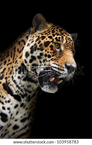 Jaguar head in darkness. Wild animal showing teeth, black background - stock photo