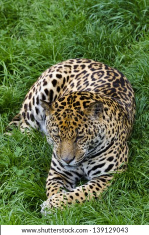Jaguar in Cabarceno natural parck, Spain - stock photo