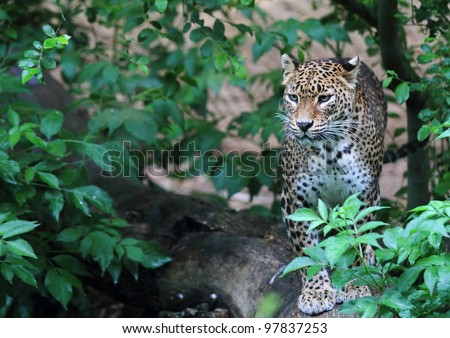 Jaguar in forest - stock photo