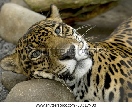jaguar or panthera onca casually at rest - stock photo