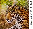 Jaguar, (Panthera onca) - stock photo