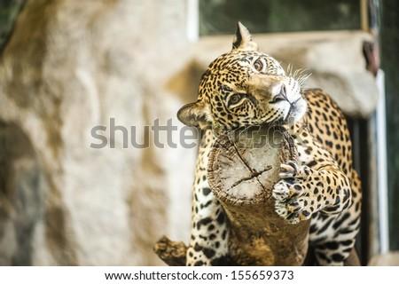 Jaguar sleep on wood - stock photo