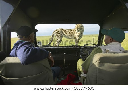 JANUARY 2005 - Cheetah jumping onto hood of Landrover Vehicle as tourists watch in Masai Mara near Little Governor's camp in Kenya, Africa - stock photo