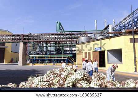 JANUARY 21, 2014: Laborers cut agave plants at La Rojena tequila distillery in Tequila Mexico. Operated by global market leader Jose Cuervo brand tequila it is the oldest distillery in America.   - stock photo
