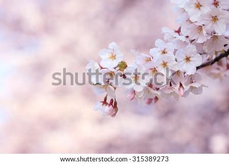 Japan, Kyoto, sakura - stock photo