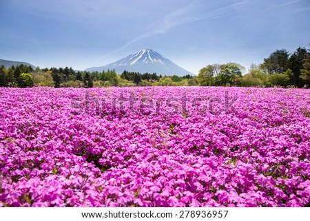 Japan Shibazakura Festival with the field of pink moss of Sakura or cherry blossom with Mountain Fuji Yamanashi, Japan - stock photo