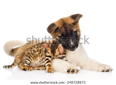 Japanese Akita inu puppy dog fawn  with small bengal cat. isolated on white background - stock photo