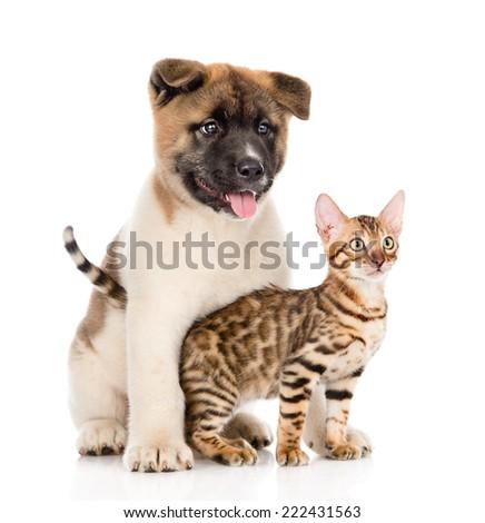 Japanese Akita inu puppy dog hugs little bengal cat. isolated on white background - stock photo