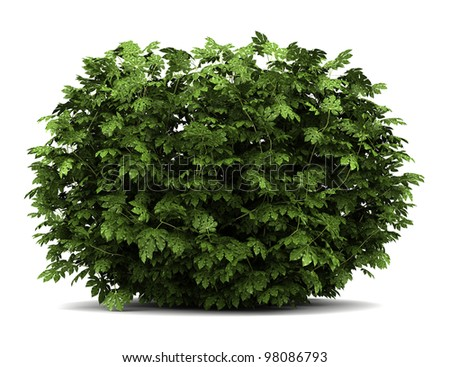 japanese aralia bush isolated on white background - stock photo