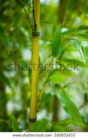 Japanese Asian bamboo forest green dream photograph - reaching for the sky in Fukuoka, Japan. Beautiful nature beauty. - stock photo