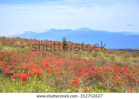 Japanese azalea at Kirigamine highland, Nagano, Japan - stock photo