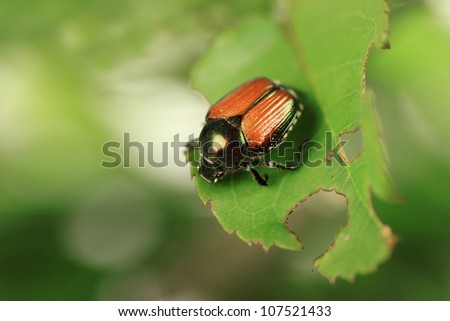 Japanese beetle, common garden pest, on rose bush - stock photo