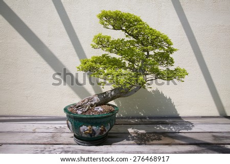 Japanese Bonsai tree in National Arboretum, Washington D.C. - stock photo
