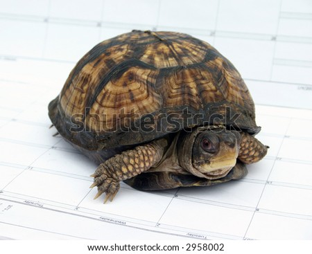 Japanese Box Turtle Walking on a Calendar - stock photo