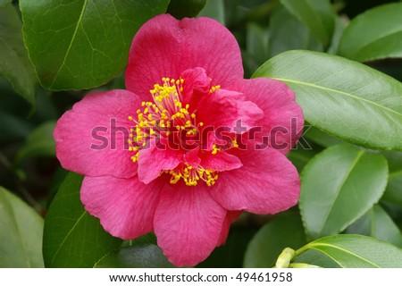 Japanese Camellia - Camellia japonica 'Evan Davis' Horizontal - stock photo