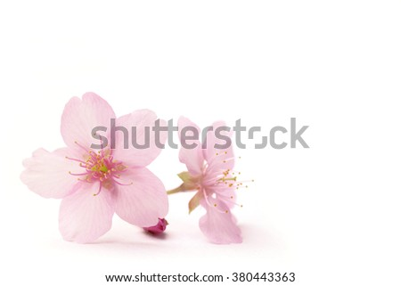 Japanese cherry blossom flowers in the white - stock photo