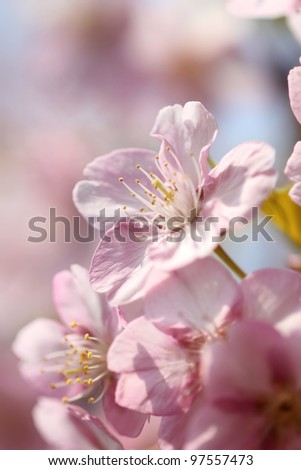 Japanese cherry blossom, low angle view - stock photo