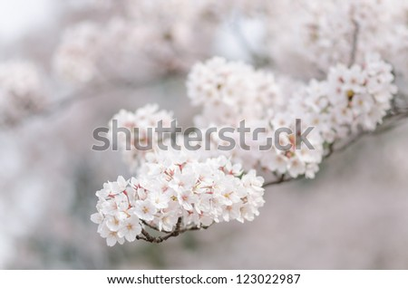 Japanese cherry blossoms in full bloom - stock photo
