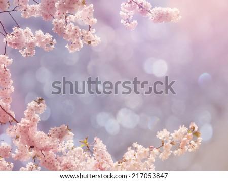 Japanese cherry tree background - stock photo
