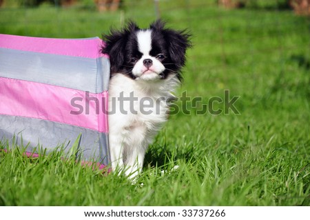 japanese chin standing in a tunnel - stock photo