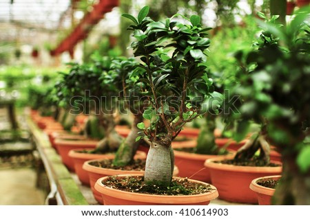 Japanese Evergreen Bonsai Plant in nursery for sale - stock photo