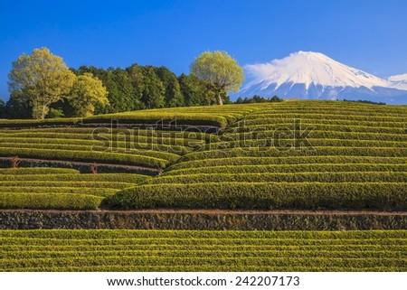 Japanese green tea plantation and Mt. Fuji, Shizuoka, Japan - stock photo