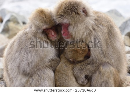 Japanese macaque parent and child sleeping hugging each other. - stock photo