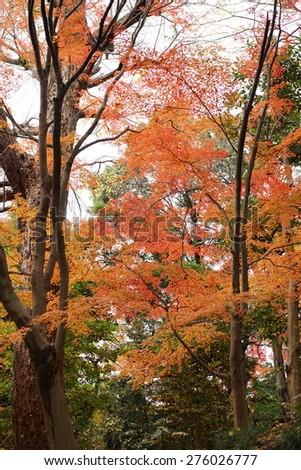 japanese maple - stock photo