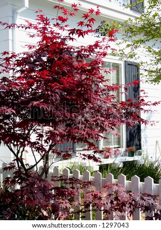 Japanese Maple against white house and fence - stock photo