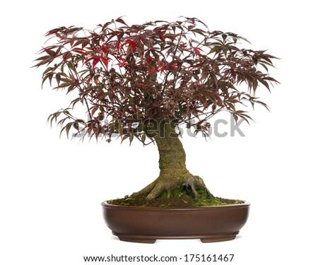 Japanese Maple bonsai tree, Acer palmatum, isolated on white - stock photo