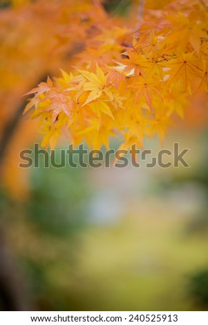 Japanese maple during autumn in Japan - stock photo