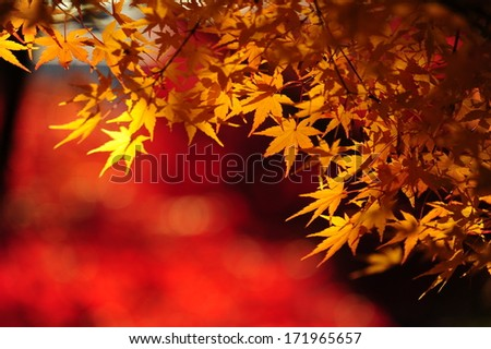 Japanese maple during autumn in Kyoto, Japan. - stock photo