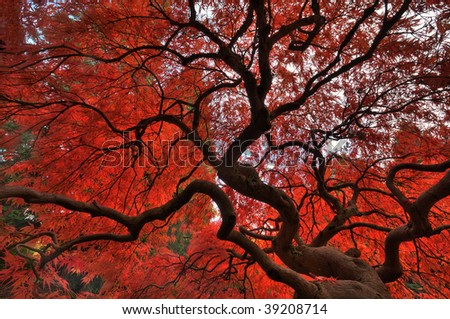 Japanese maple glowing with vibrant fall colors - stock photo