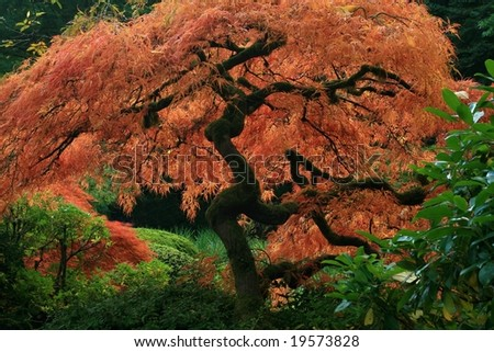 Japanese Maple in Autumn - stock photo