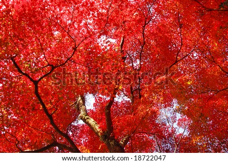 Japanese maple in autumn colors - stock photo