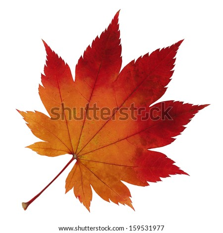 Japanese Maple Leaf Stock Photos Images Pictures