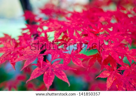 Japanese maple leafs - stock photo