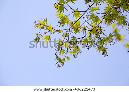 Japanese maple leaves against the blue sky - stock photo