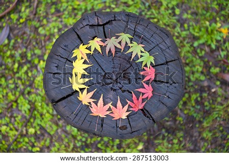 Japanese maple leaves arranged in a circular gradation of colour on a wooden log. - stock photo
