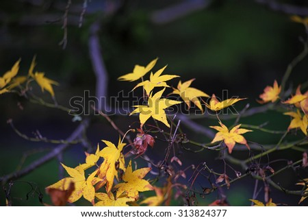 Japanese maple leaves in a park - stock photo