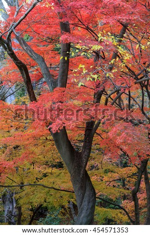 Japanese maple tree in autumn, Maruyama park, Kyoto, Japan. - stock photo