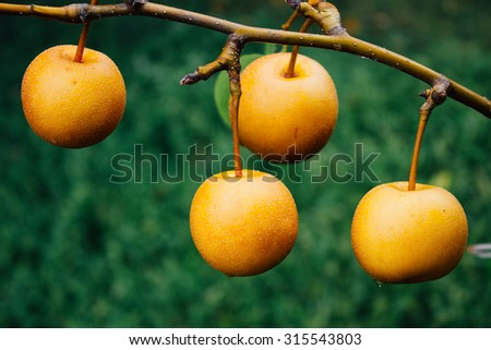 Japanese pear on a branch - stock photo