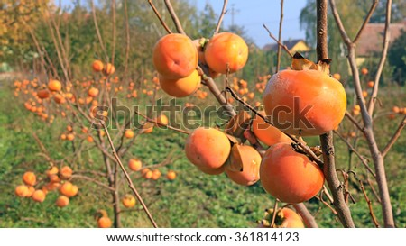 Japanese persimmon in a orchard, sharon fruit - stock photo