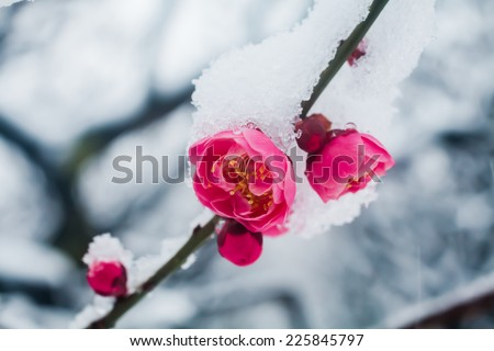 Japanese plum blossoms in the snow - stock photo