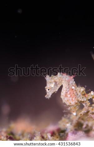 Japanese pygmy seahorse - stock photo