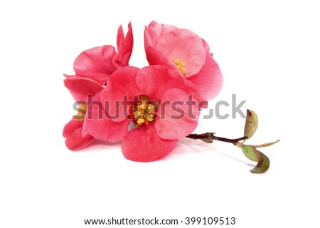 Japanese Quince flowers, isolated - stock photo