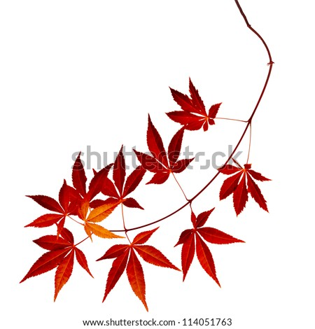 Japanese Red Autumn maple tree leaves (Acer palmatum) isolated tip of branch - stock photo