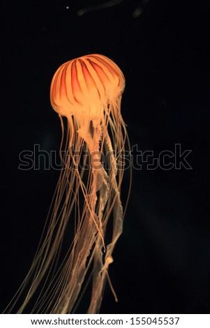 Japanese sea nettle (Chrysaora pacifica) in Japan  - stock photo