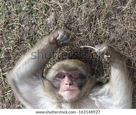 Japanese Snow monkey lies on his back, reaching upward and looks at the camera. - stock photo